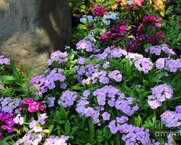 Dianthus Poster featuring the painting Dianthus Flower Bed by Corey Ford