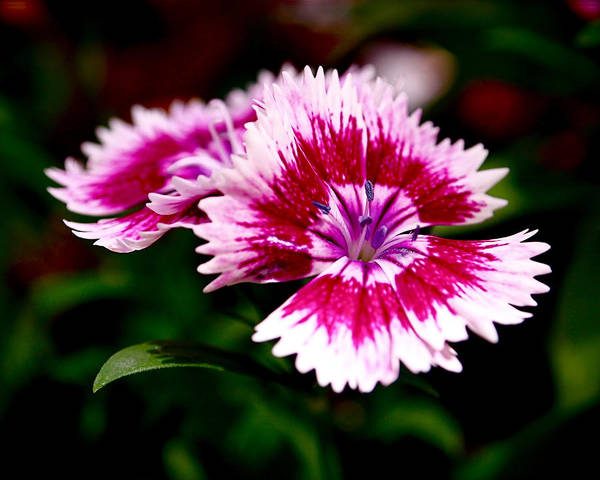 Sweet William Poster featuring the photograph Dianthus by Rona Black