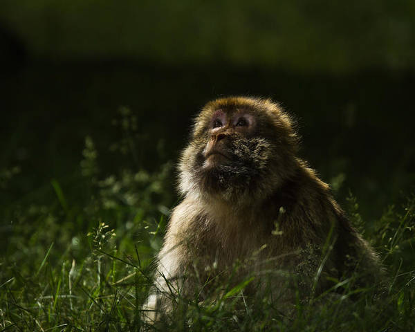 Macaque Poster featuring the photograph Distant Thoughts by Chris Whittle