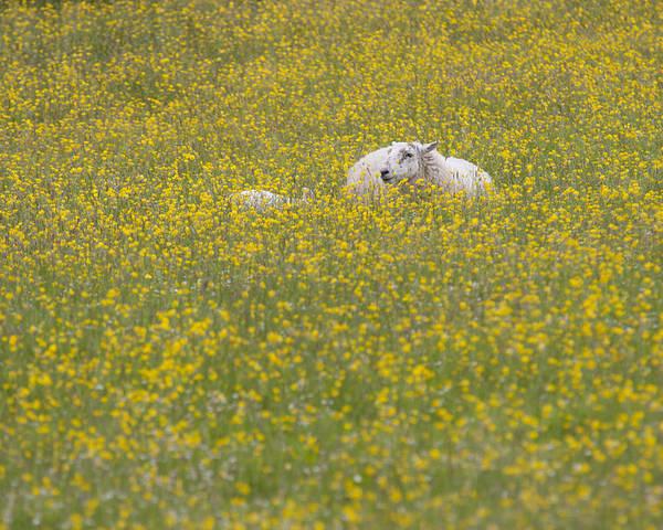 Sheep Poster featuring the photograph Do Ewe Like Buttercups? by Karen Van Der Zijden