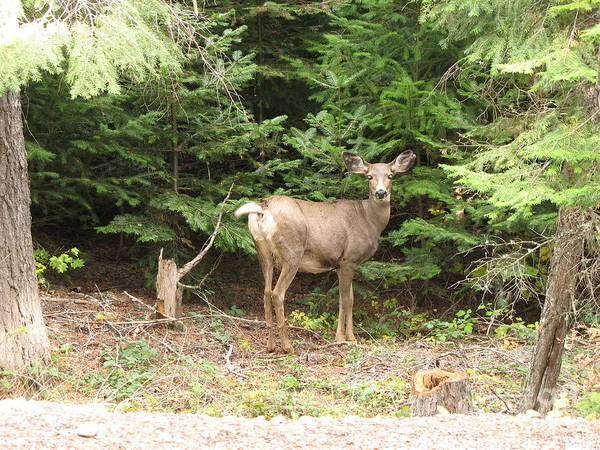 Deer Poster featuring the photograph Doe At Suttle Lake by Juli House