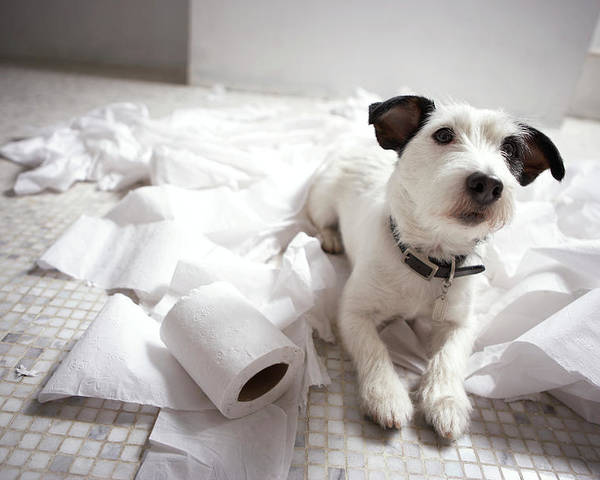 Horizontal Poster featuring the photograph Dog Lying On Bathroom Floor Amongst Shredded Lavatory Paper by Chris Amaral