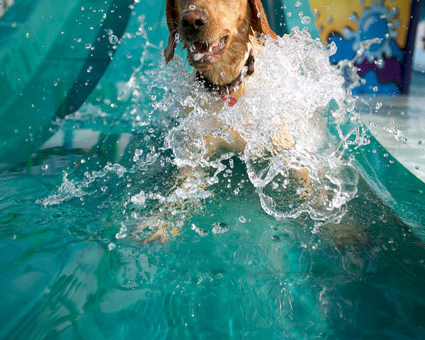 Animal Poster featuring the photograph Dog Splashing In Water by Gillham Studios
