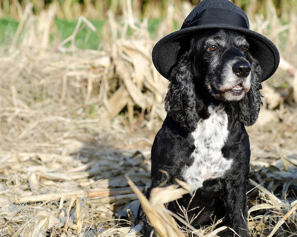 Dog Poster featuring the photograph Dog With A Hat by Mats Silvan