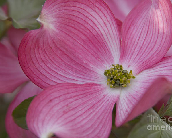 Dogwood Poster featuring the photograph Dogwood Bloom by Idaho Scenic Images Linda Lantzy