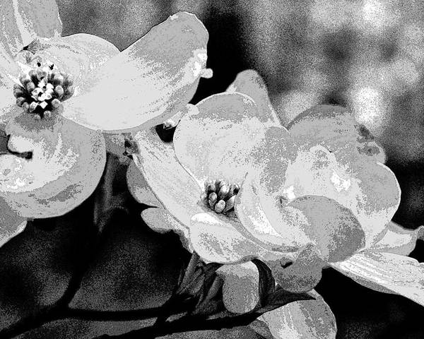 Dogwood Poster featuring the photograph Dogwood Blossoms - Black And White by Mother Nature