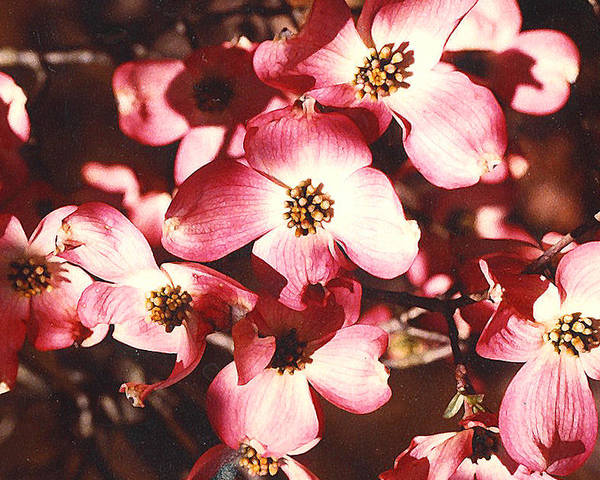Dogwood Poster featuring the photograph Dogwood Harmony by Nancy Mueller