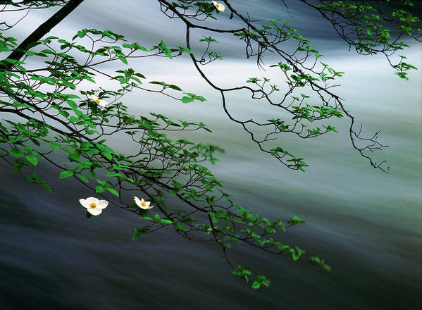 Photography Poster featuring the photograph Dogwoods And Merced River by Edward Mendes