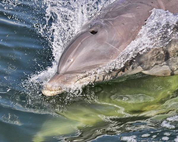 Dolphin Poster featuring the photograph Dolphin Pair by Don McBride