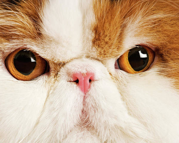 Horizontal Poster featuring the photograph Domestic Persian Cat Against White Background. by Martin Harvey