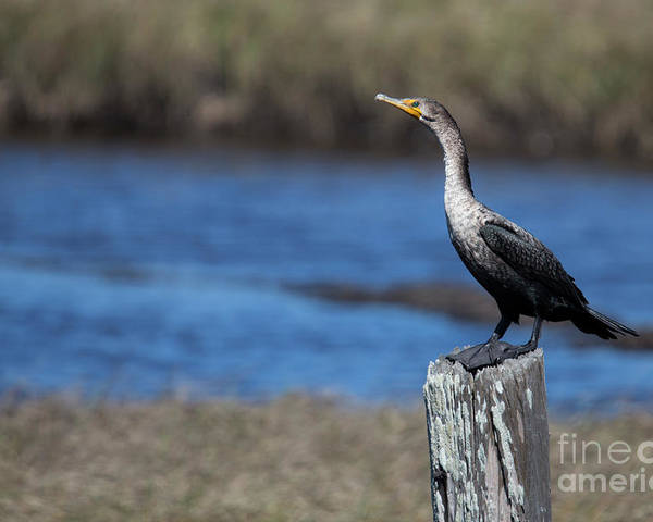 Double-crested Cormorant Poster featuring the photograph Double-crested Cormorant by Twenty Two North Photography