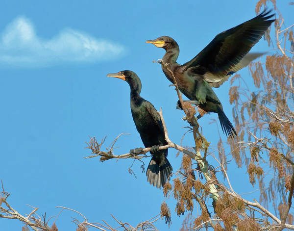 Birds Poster featuring the photograph Double-crested Cormorants by Delores Knowles