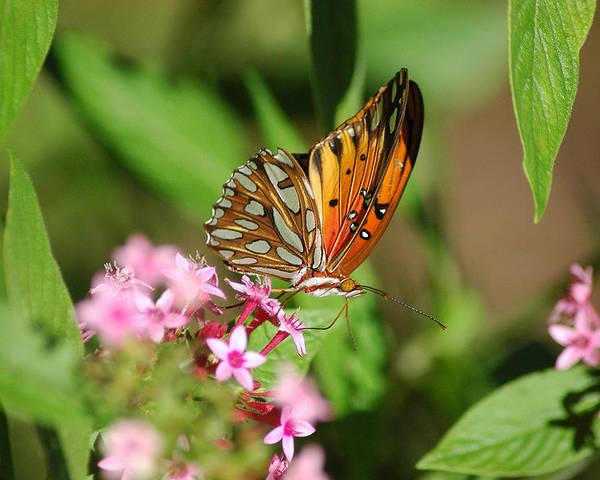 Butterflies Poster featuring the photograph Double Dip by Robert Anschutz