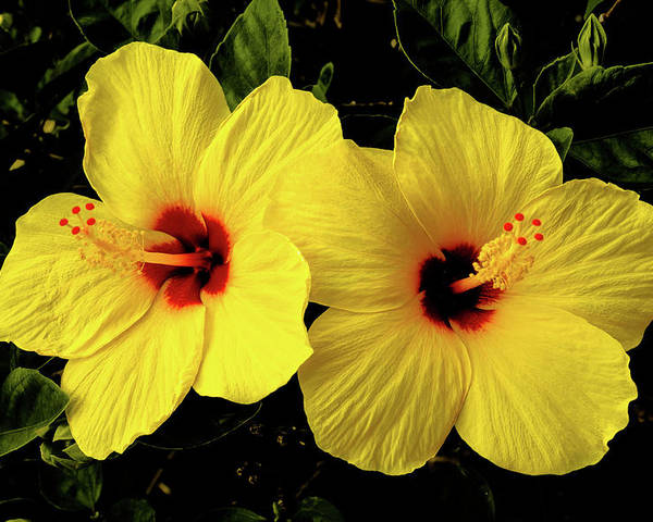 Flowers Poster featuring the photograph Double Hibiscus by Alan Hart