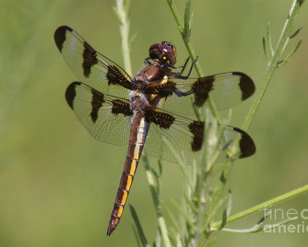 Insect Poster featuring the photograph Dragon Fly by Robert Pearson