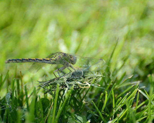Dragon Fly Poster featuring the photograph DragonFlly in the park by Paulina Roybal