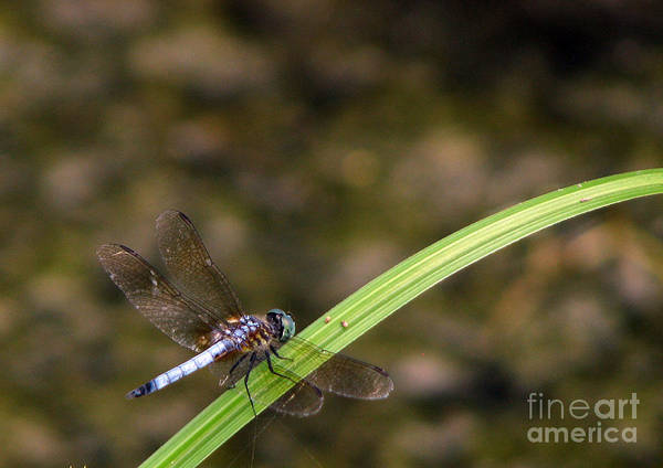 Dragonfly Poster featuring the photograph Dragonfly by Amanda Barcon