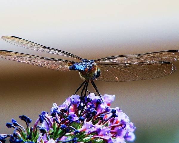 Dragonfly Poster featuring the photograph Drangonfly On A Purple Flower by Alex Santos