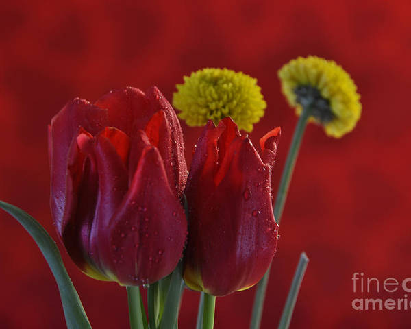 Tulips Poster featuring the photograph Drops Of Love by Crystal J Harwood