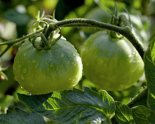 Drop Poster featuring the photograph Drops On Immature Green Tomatoes After A Rain Shower by Sami Sarkis