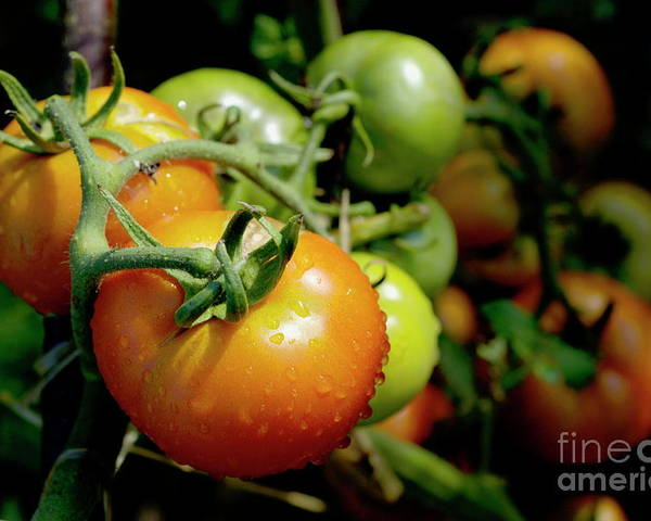 Drop Poster featuring the photograph Drops On Immature Red And Green Tomato by Sami Sarkis