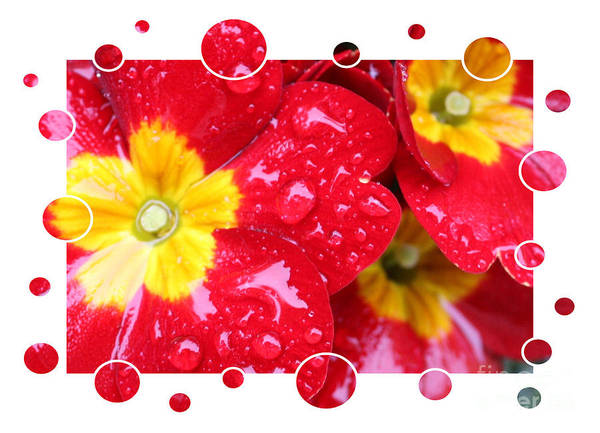 Primrose Poster featuring the photograph Drops Upon Raindrops 4 by Carol Groenen
