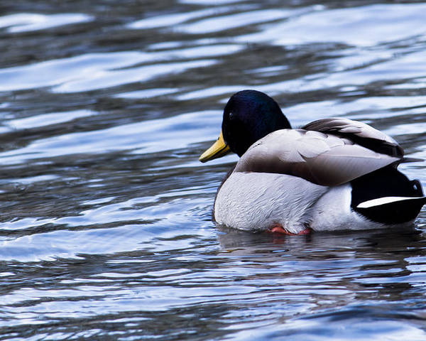 Duck Poster featuring the photograph Duck by Ananta Patel