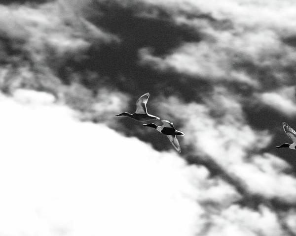Poster featuring the photograph Ducks In Flightt by Brian Sereda