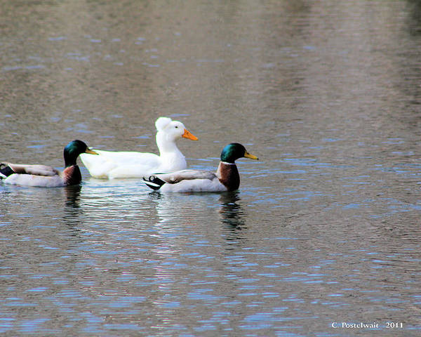 Ducks Poster featuring the photograph Ducks On Pond by Carolyn Postelwait