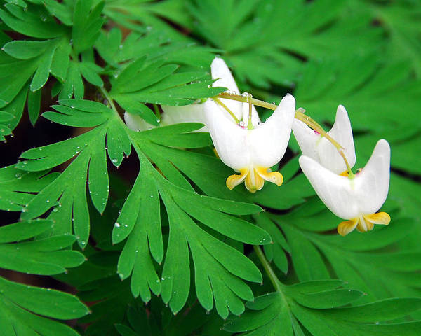 Dutchman's Breeches Poster featuring the photograph Dutchman's Breeches by Alan Lenk