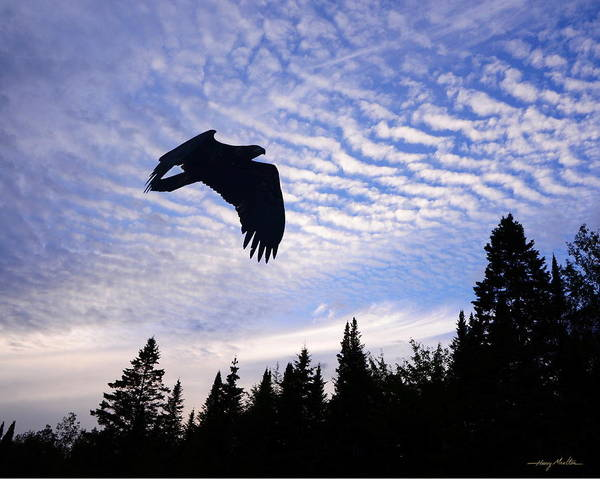 Eagles Poster featuring the photograph Eagle At Dawn by Harry Moulton