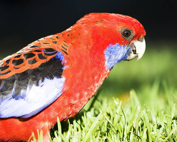 Parrot Poster featuring the photograph Early Bird by Jorgo Photography - Wall Art Gallery