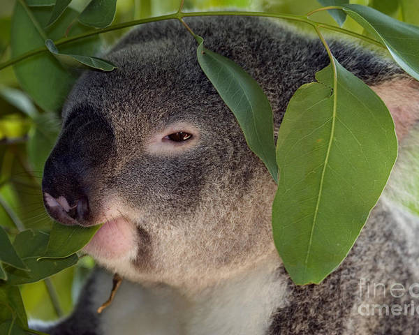 Koala Poster featuring the photograph Eat Your Greens by Mike Dawson