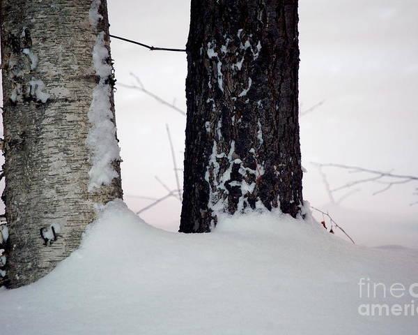 Tree Poster featuring the photograph Ebony And Ivory by Faith Harron Boudreau