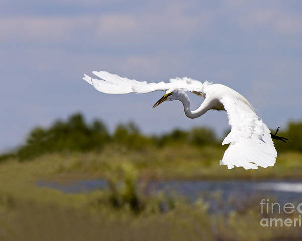 Egret Poster featuring the photograph Egret Ballet by Mike Dawson