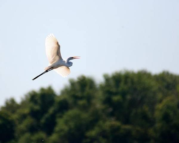 Bird Poster featuring the photograph Egret In Flight by David Dunham