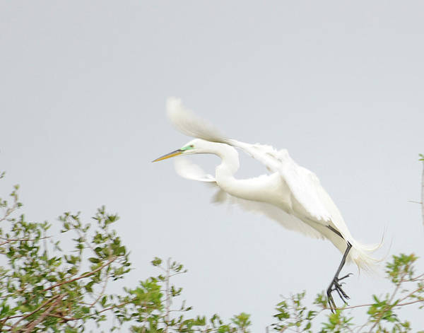Egret Poster featuring the photograph Egret-taking Flight by Keith Lovejoy