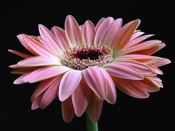 Gerber Daisy Poster featuring the photograph Elegant Daisy by Juergen Roth