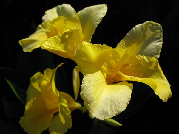 Yellow Flower Poster featuring the photograph Elegant Surprise by PJ Cloud