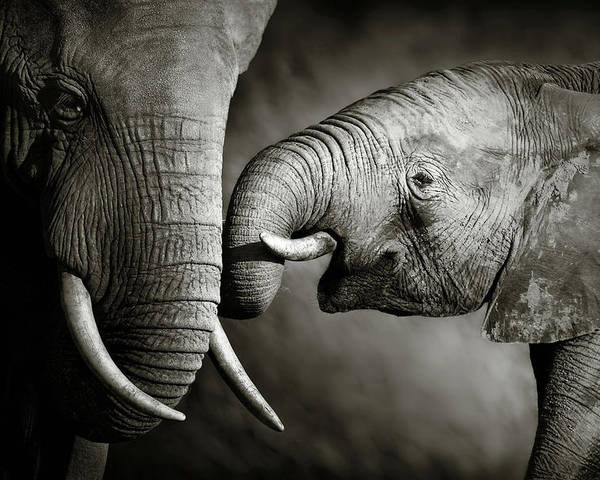 Elephant; Interact; Touch; Gently; Trunk; Young; Large; Small; Big; Tusk; Together; Togetherness; Passionate; Affectionate; Behavior; Art; Artistic; Black; White; B&w; Monochrome; Image; African; Animal; Wildlife; Wild; Mammal; Animal; Two; Moody; Outdoor; Nature; Africa; Nobody; Photograph; Addo; National; Park; Loxodonta; Africana; Muddy; Caring; Passion; Affection; Show; Display; Reach Poster featuring the photograph Elephant affection by Johan Swanepoel