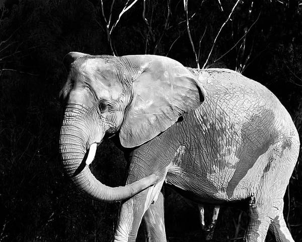Elephant Poster featuring the photograph Elephant by Camille Lopez