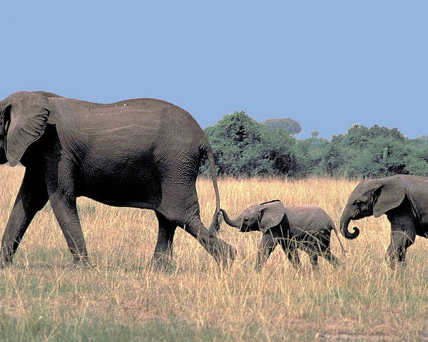 Elephant Poster featuring the photograph Elephant Family by Carl Purcell