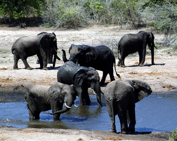 Elephants Poster featuring the photograph Elephant Pool by Charles Ridgway