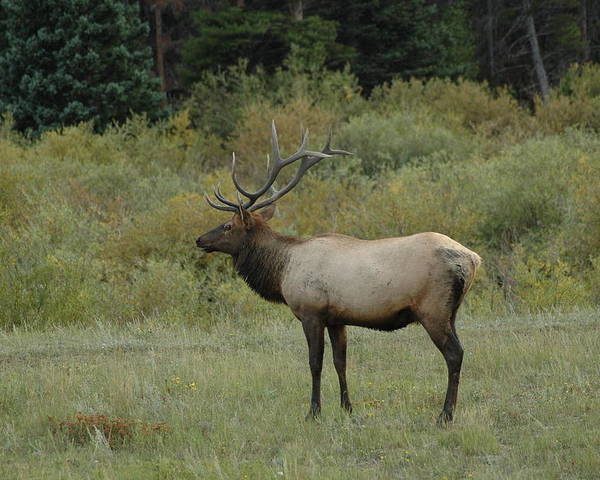 Elk Poster featuring the photograph Elk by Kathy Schumann