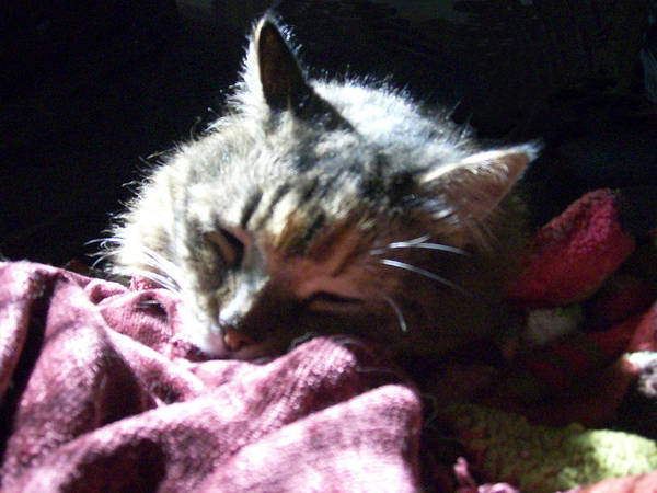 Cat Kitty Sleeps Cute Animal Poster featuring the photograph Elsa Sleeps Tonight by Lisa Roy