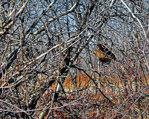 American Woodcock Poster featuring the photograph Elusive Woodcock's Woody Environment by Asbed Iskedjian