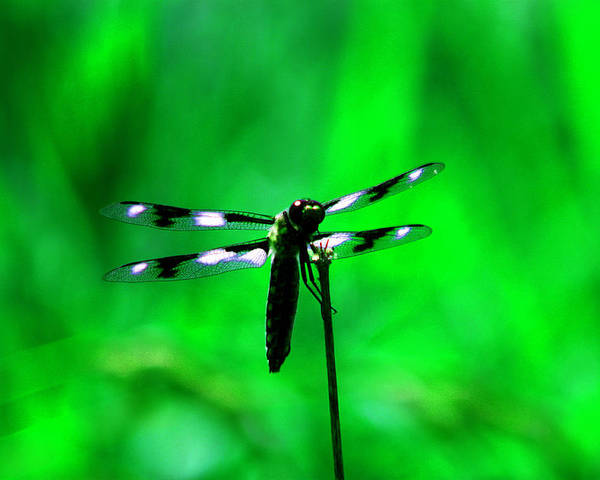 Dragon Fly Poster featuring the photograph Emerald Dragon Fly by Nick Gustafson