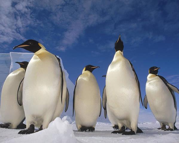 Mp Poster featuring the photograph Emperor Penguins Antarctica by Tui De Roy