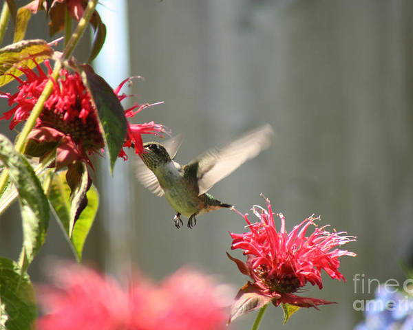 Hummingbird Poster featuring the photograph Enjoying The Bee Balm by Cathy Beharriell