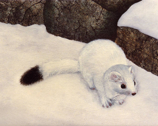 Wildlife Poster featuring the painting Ermine In Winter by Frank Wilson